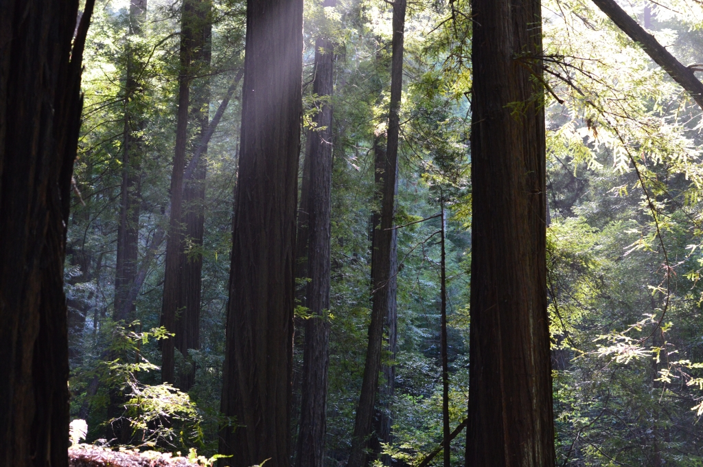 California Redwoods and Communicating with Nature